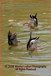 Three ducks in pond