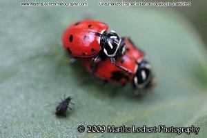 Mating Ladybugs