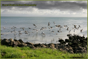 Seagulls flying by rocky coast south of San Francisco
