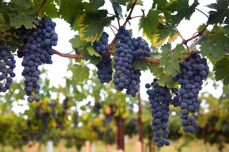 GrapesWillcox260A3524