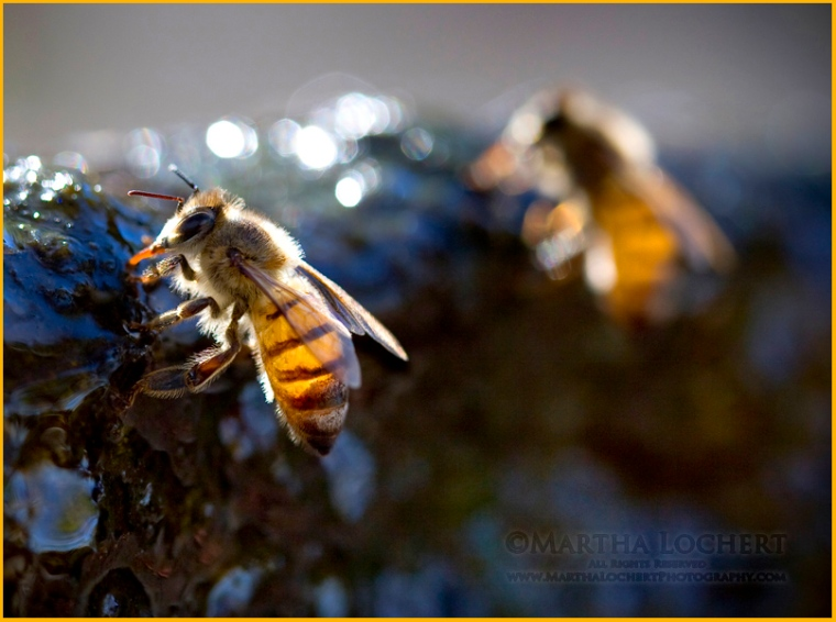 Bees_7429