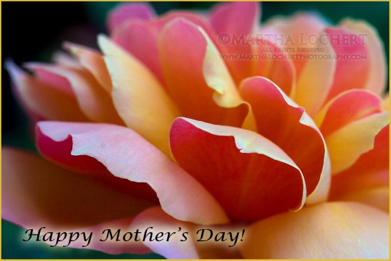 MothersDayRose_9651