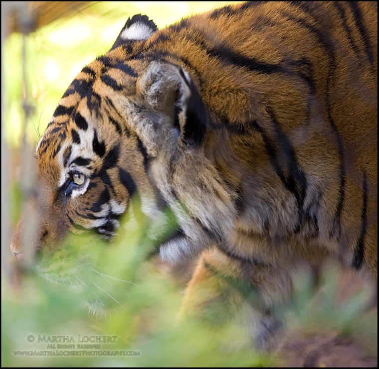 Tiger at Reid Park Zoo, as photographed by Tucson photographer Martha Lochert.