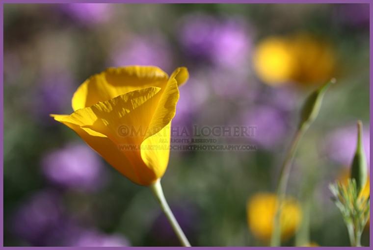 Poppies_7314