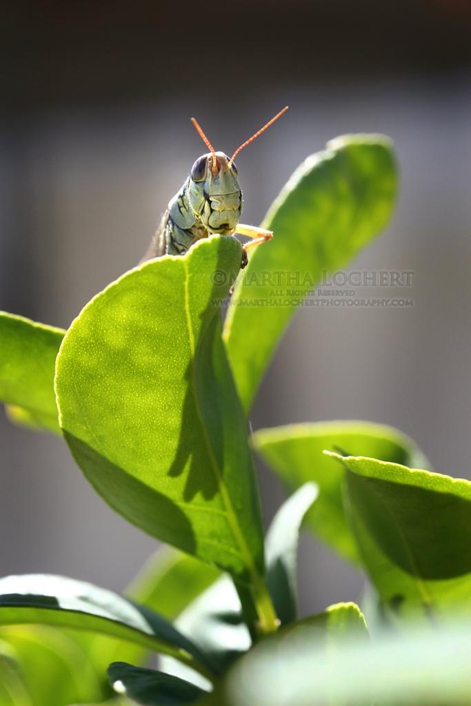 GrasshopperHello9522_1200px