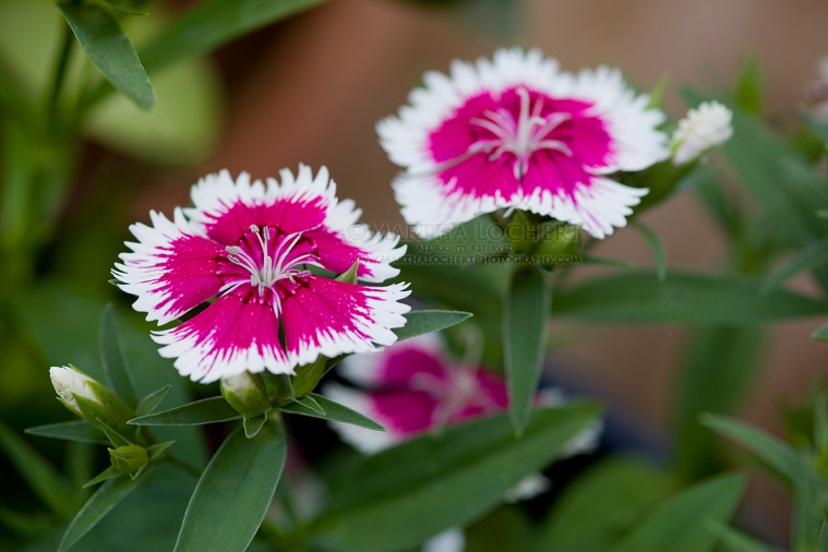 Dianthus photographed by Tucson photographer Martha Lochert