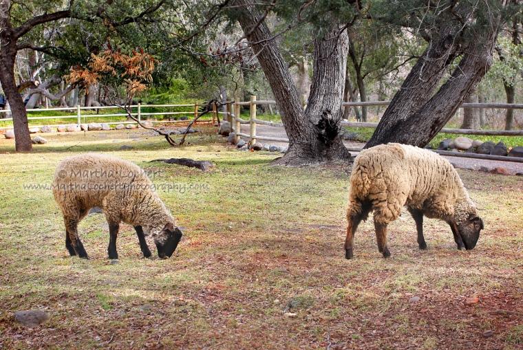 Sheep_8593