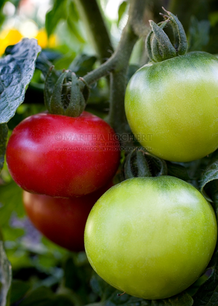 Tomatoes on the vine photographed by Tucson photographer Martha Lochert