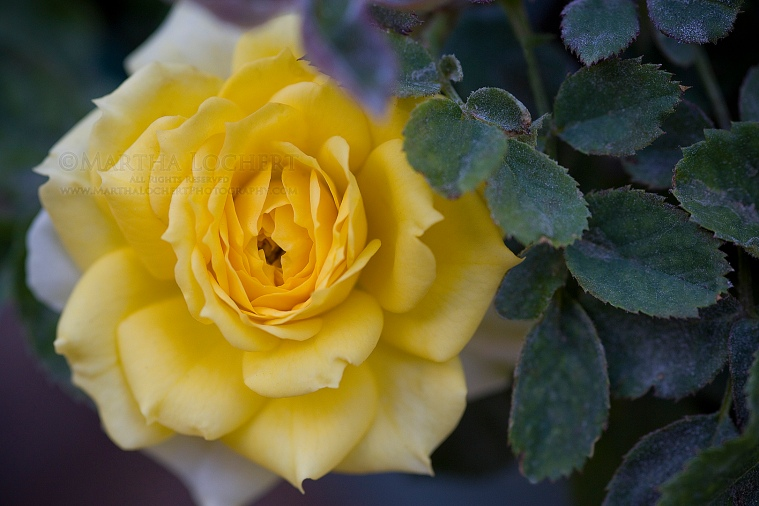 Yellow rose as photographed by Tucson photographer Martha Lochert
