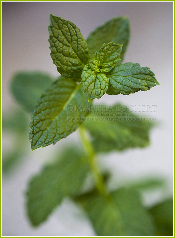 Macro photo of a spearmint plant by Tucson photographer Martha Lochert.