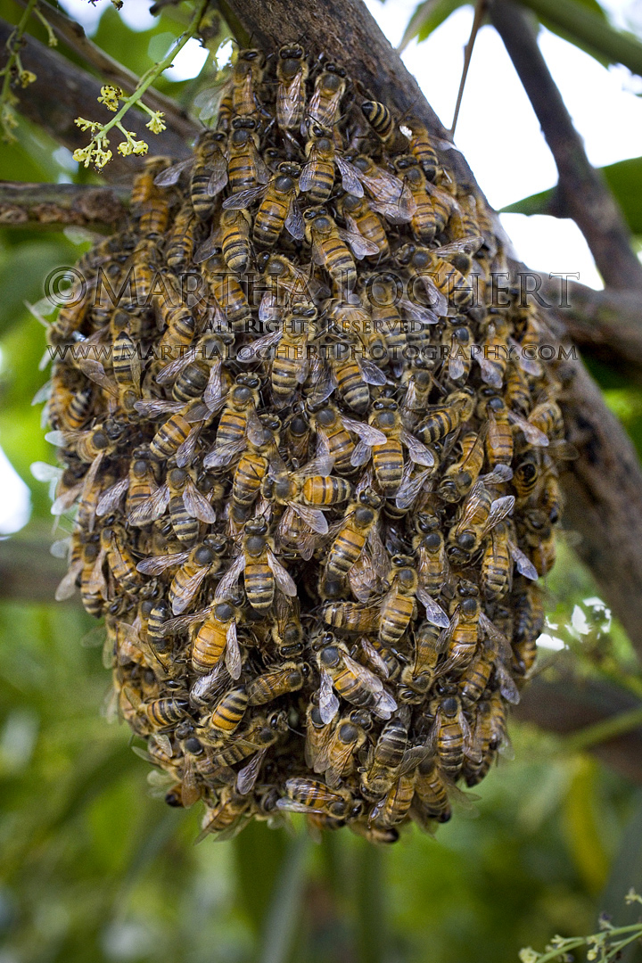 Bee swarm as photographed by Tucson photographer Martha Lochert.