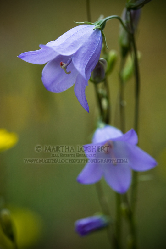 MountainHarebell_Colorado