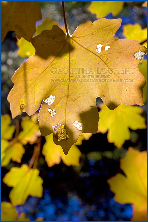 Fall color on the Catalina Mountains by Tucson photographer Martha Lochert.