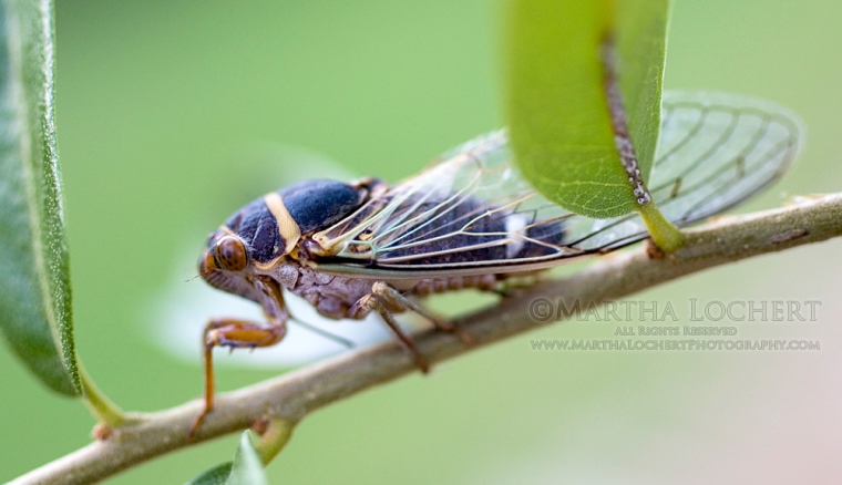 Photo of a cicada by Tucson photographer Martha Lochert.