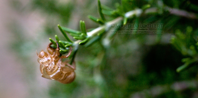 Bee exoskeleton on rosemary - photo by Tucson photographer Martha Lochert.