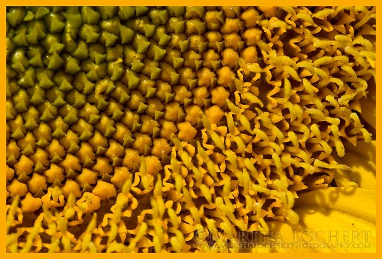 Sunflower7056_900px