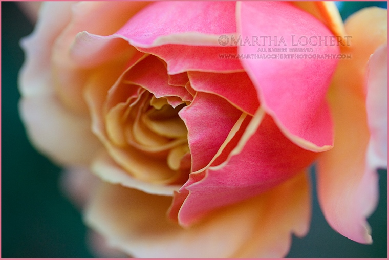 Rose by Tucson photographer Martha Lochert