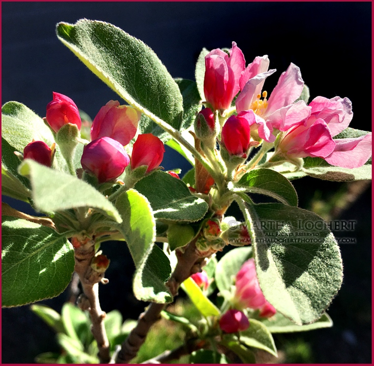 Apple blossom photo by Tucson photographer Martha Lochert